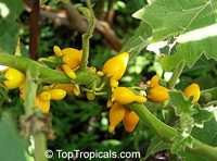 Solanum mammosum, Nipple Fruit, Tit Plant, Apple of Sodom, Terong Susu, Cows Udder, Nyun Wenkibobi, Soresumba, Mackaw Bush, Titty Fruit, Pig Face  Click to see full-size image