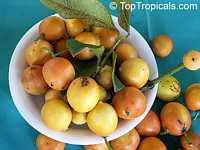 Rheedia edulis, Garcinia intermedia, Calophyllum edule, Monkey Fruit, Sastra, Cherry Mangosteen, Lemon Drop MangosteenClick to see full-size image