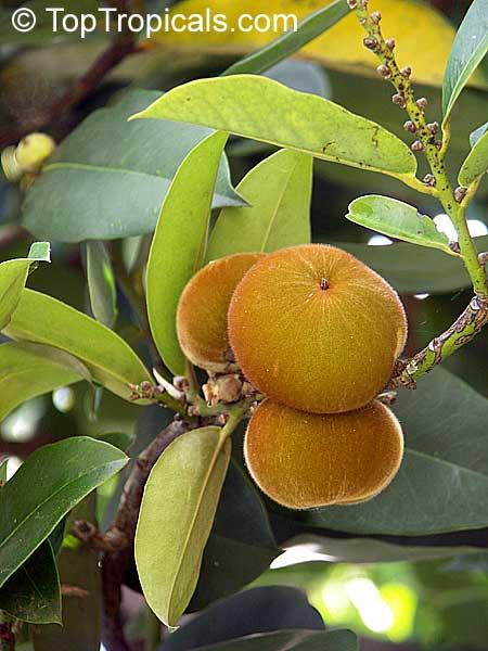 diospyros blancoi  diospyros discolor  velvet apple