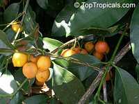 Rheedia edulis, Garcinia intermedia, Calophyllum edule, Monkey Fruit, Sastra, Cherry Mangosteen, Lemon Drop Mangosteen  Click to see full-size image