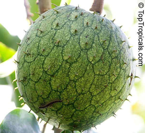 guanabana fruit for sale most healthy dried fruit