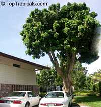 Euphoria longana, Dimocarpus longan, Nephelium longana, Longan, Dragon's EyeClick to see full-size image