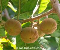 Pouteria sp. - Ross Sapote, grafted 