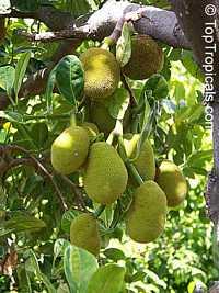 Artocarpus heterophyllus - Jackfruit Tangerine, graftedClick to see full-size image