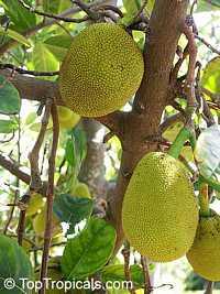 Artocarpus heterophyllus - Jackfruit seedling, misc varieties