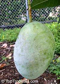 Mangifera indica - Quidnow Mango, Grafted