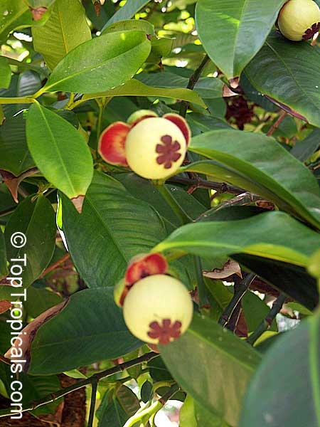 Garcinia mangostana, Mangosteen - TopTropicals com