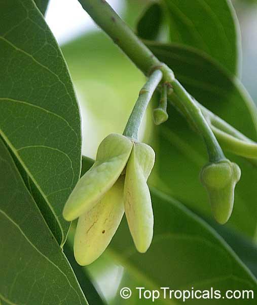 Annona reticulata, Custard Apple (Chirimoya - Cuba ...