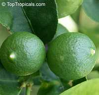 Citrus aurantifolia, Mexican Lime, Key lime, West Indian lime