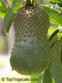 Annona muricata - Soursop, Guanabana, seedling - 3 gal pot  Click to see full-size image
