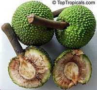 Artocarpus altilis - Maafala BreadfruitClick to see full-size image