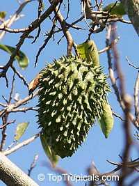 Annona purpurea, Soncoya, Toreta, Ilama, Cabeza de Negro  Click to see full-size image