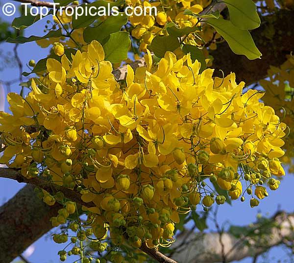 Cassia Fistula Golden Shower Tree Indian Laburnum