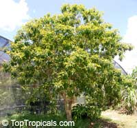 Byrsonima crassifolia, Malpighia crassifolia, Nancy Tree, Golden Spoon, Nance  Click to see full-size image