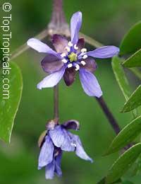 Guaiacum sanctum - Lignum VitaeClick to see full-size image
