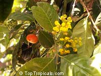 Bunchosia argentea, Peanut Butter Tree