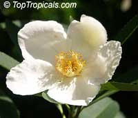 Gordonia lasianthus, Loblolly Bay  Click to see full-size image