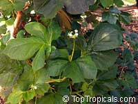 Cnidoscolus chayamansa, Maya Spinach Tree, Chaya Col, Kikilchay, Chaykeken  Click to see full-size image
