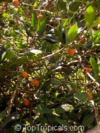 Rheedia madruno, Madrono, Madrone, Bakupari, Garcinia  Click to see full-size image