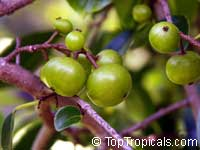 Flacourtia indica, Governors plum, Madagascar Plum, Batoko palm  Click to see full-size image