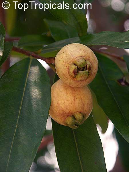 Rose Apple Fruit On Tree