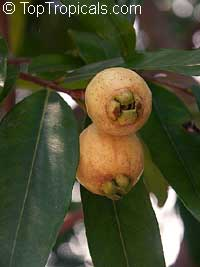 Syzygium jambos - Rose Apple