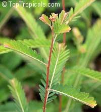 Emblica officinalis, Phyllanthus emblica, Indian Gooseberry, Emblic Myrobalan, Amla, Amalaki, Amloki  Click to see full-size image