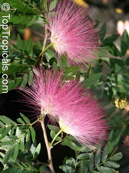 Calliandra surinamensis surinam powder puff pink powder puff calliandra surinamensis surinam powder puff pink powder puff surinamese stickpea officiers mightylinksfo