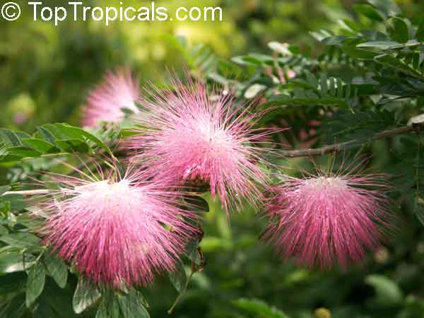 Calliandra surinamensis, Surinam Powder Puff, Pink Powder Puff, Surinamese Stickpea, Officiers-kwast