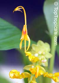 Globba schomburgkii, Dancing Girl Ginger  Click to see full-size image