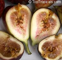 Ficus carica - Fig Brown Turkey  Click to see full-size image