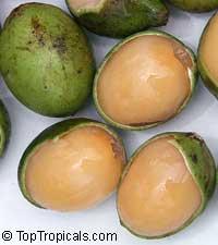 Melicoccus bijugatus - Spanish Lime, GenipClick to see full-size image
