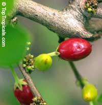 Erythroxylum coca, Huanuco, Coca