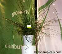 Juncus effusus Spiralis, Juncus effusus var. decipiens, Corkscrew Rush, Spiral Rush, Soft Rush  Click to see full-size image