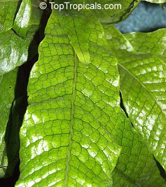 Garden Bush: Microsorum Musifolium, Alligator Fern, Crocodile Fern