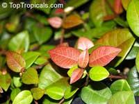 Trachelospermum asiaticum 'Minima', Dwarf Confederate Jasmine, Minimound  Click to see full-size image