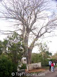 Adansonia digitata, Baobab, Cream of Tartar tree, Monkey-bread tree, Lemonade tree, Upside-down Tree