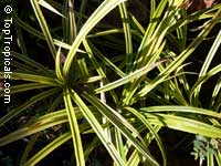 Pandanus baptistii, Variegated Dwarf Pandanus, White-striped Pandanus  Click to see full-size image
