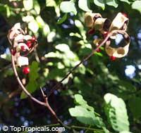 Adenanthera pavonina, Adenanthera gersenii, Adenanthera polita, Corallaria parvifolia, Red Sandalwood, Coral Bean Tree, Saga, Sagaseed Tree, Red-bead Tree, Raktakambal, Kokriki  Click to see full-size image