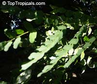 Adenanthera pavonina, Adenanthera gersenii, Adenanthera polita, Corallaria parvifolia, Red Sandalwood, Coral Bean Tree, Saga, Sagaseed Tree, Red-bead Tree, Raktakambal, KokrikiClick to see full-size image