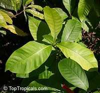 Litsea garciae, Lepidadenia kawakamii, Litsea kawakamii, Tetradenia kawakamii, Engkala  Click to see full-size image