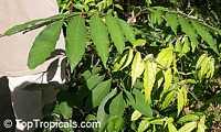 Nephelium rambutan-ake, Nephelium philippense, Nephelium mutabile, Nephelium intermedium, Litchi ramboutan-ake, Pulasan, Bulala, Ngoh-khonsan, Ramboutan-ake  Click to see full-size image