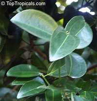 Cinnamomum zeylanicum, Cinnamomum verum, CinnamonClick to see full-size image