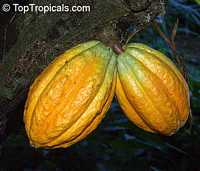 Theobroma cacao, Chocolate Tree, Cacao, Cocoa Tree  Click to see full-size image