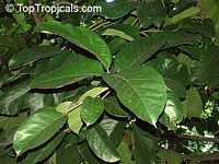 Artocarpus lakoocha, Lakoocha  Click to see full-size image