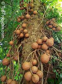 Couroupita guianensis - Cannonball Tree  Click to see full-size image