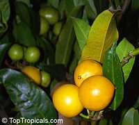 Rheedia brasiliensis, Rheedia laterifolia, Garcinia laterifolia, Bakupari, Camboriu  Click to see full-size image