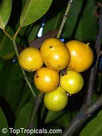 Garcinia macrophylla (megaphylla, magnifolia) - Bacuripari   Click to see full-size image