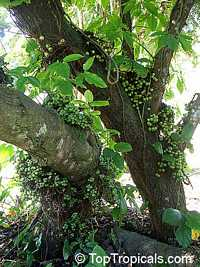 Ficus nota, Tibig  Click to see full-size image