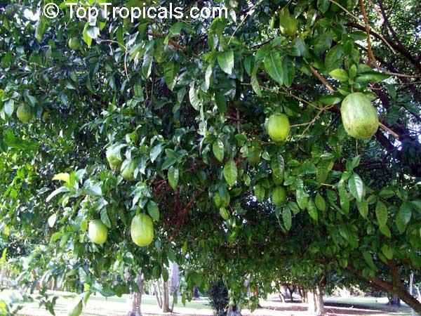 citrus bergamia bergamot orange